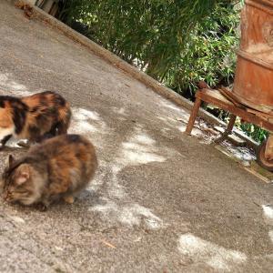 落ちチーズ拾う猫 オリーブ摘む男たち、ペルージャ