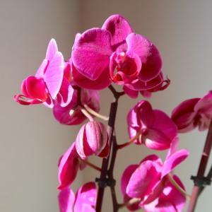 蘭の花4か月咲いたあと枝分かれ小さな花茎