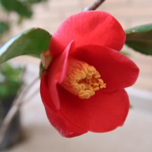 椿・ヒナゲシ咲いてうれしい春の庭