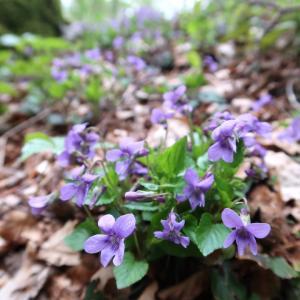 野スミレが今も花盛りラヴェルナの森、トスカーナ