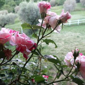 ミジャーナでバラがきれいに咲いてます