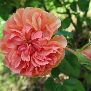 ペルージャの庭でもバラが咲いています