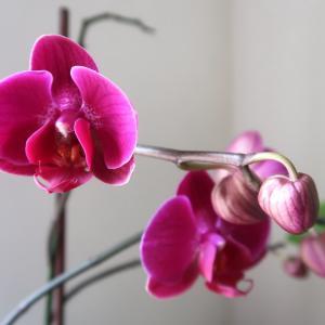 蘭の花再び咲いてくれてありがとう、4か月咲き2か月後また美しい花