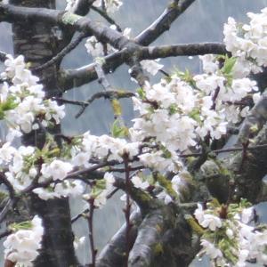 白い桜オリーブ園で咲くイタリア