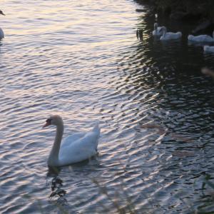 白鳥の親子たそがれのトラジメーノ湖に