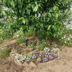 こちらの場所もオルレアが咲き始めた♪