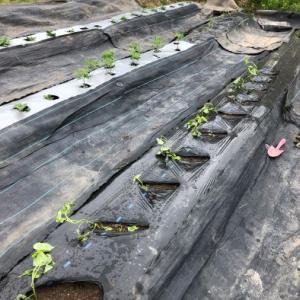 20210525サツマイモの苗植え