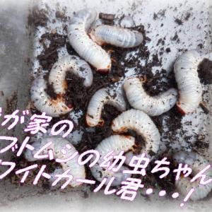 カブトムシホワイトカール君・🎩・昆虫マットに昆虫ゼリー・・・大食い幼虫ギャル曽根ちゃんも驚くかな?