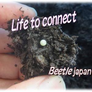 幼虫の、🌱うんちは自然へのプレゼント!静寂な土の中の繋ぐ命(カブトムシの幼虫) Life to connect  Beetle