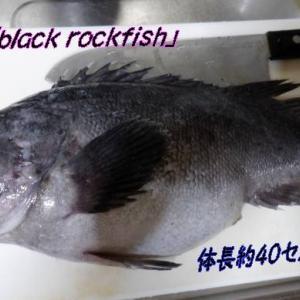 黒ソイ三昧🐟クロソイ薄造り&煮つけ&胃袋解剖~男の興味&料理ウマウマ~!