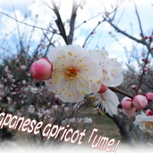 京都おススメ!約1万本の梅ぼしの花🌸(城陽、青谷梅林)梅まつり(前編)