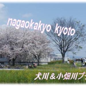 KYOTO長岡京市隠れプチお花見スポット犬川動画あり📷カメラマンもカメラ女子もインスタ女子も