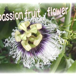 神秘的な花✿passion fruit flower おしべとめしべのアピール💖#今日のマスクプラスチックゴミ