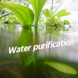 土と植物の水の浄化観察Water purificationメダカの緑水を透明に・・・環境教育にも!