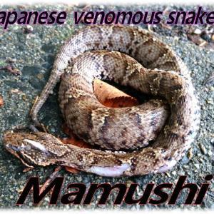 街中マムシ🐍田舎では普通に見るけど街中では子供達の危険に!Japanese venomous snake
