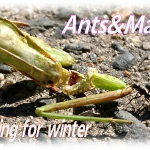 1匹でカマキリを運ぶアリさんありの冬支度🐜&秋の水辺に咲くピンクの小さな花「ミゾソバ」ちゃん