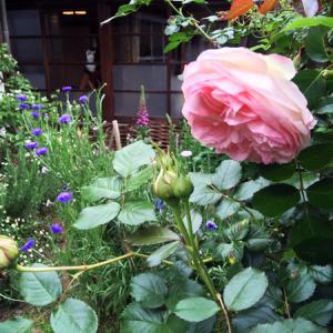 5月の庭より 〜バラが咲き始めました。〜