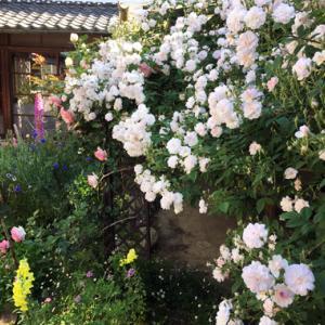 咲き乱れる薔薇の庭で。