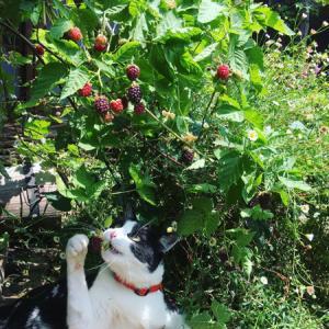 庭で摘んだブラックベリーをジャムに。