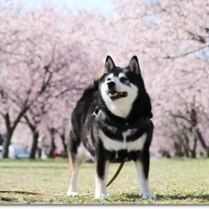 桜満開 de 安行寒桜
