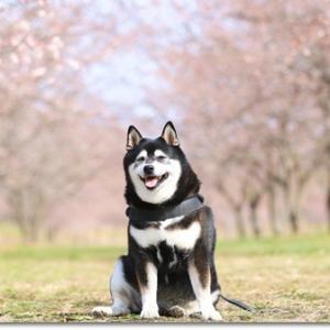 もう直ぐ春ですね de 安行寒桜