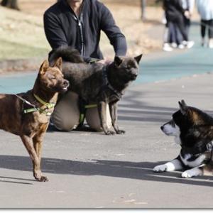 甲斐犬と柴犬