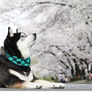 桜吹雪と炭治郎と