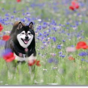 矢車草と柴犬と まん延防止延長と
