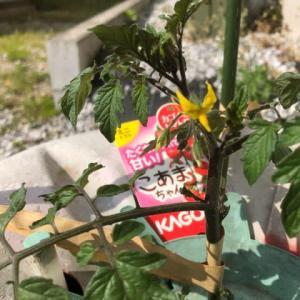 1つめの花がさいたよミニトマト。