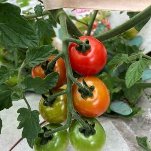 もうすぐ収穫のミニトマト。
