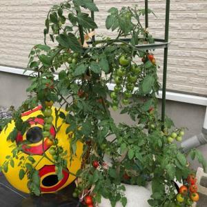 3こ収穫と葉に白い斑点、ミニトマト。
