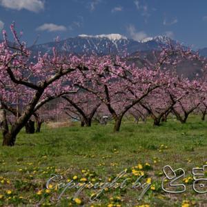 桃の花と菜の花が見頃です