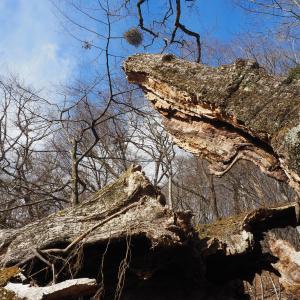 金岱山 力尽きた巨樹