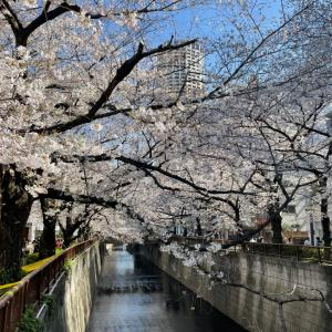 東京、桜満開 & コラム連載2回目
