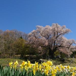 越代の桜と特上海鮮丼