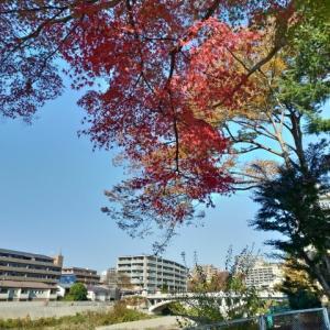 カエデの紅葉も見頃に@広瀬川