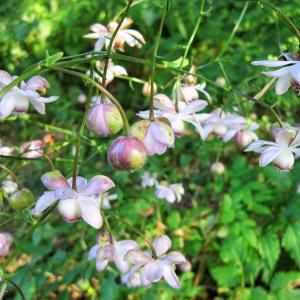 涼しそうな花の写真は・・・