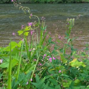 秋の気配がする広瀬河畔に咲いていたのは
