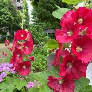 タチアオイとミズキの花、ハリエンジュの実