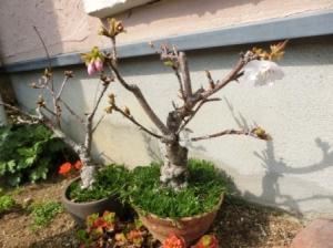 今年の桜、桜、桜。