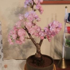 アトム桜満開。