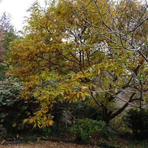 栗の木の紅葉と池
