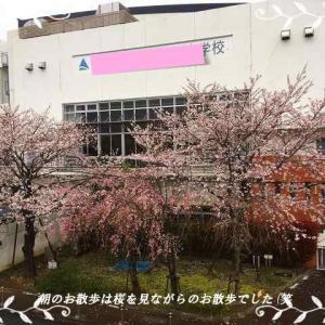 コロナ・コロナと世間では言われていますが朝のお散歩は華ちゃんと桜の中でのんびりですぅ(笑)