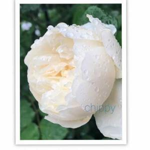 私の薔薇 ウイリアムアンドキャサリン♪