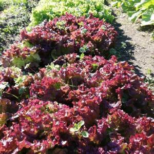 リーフレタスや春菊など