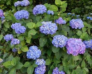 『 紫陽花 』