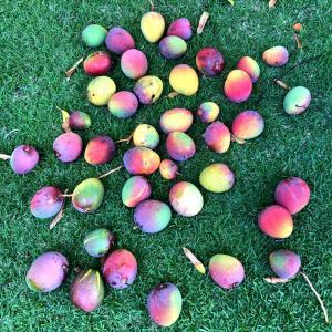 Too many mangos - 配りまくったマンゴーが化けて返ってきた品々。
