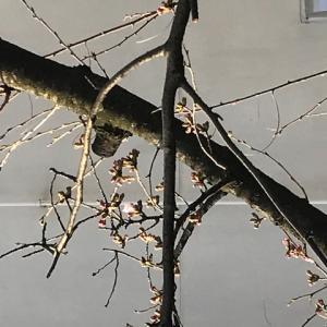 眼科医のつぶやき 第2092回 今年の名古屋のソメイヨシノの開花