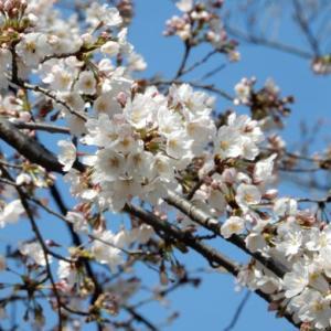2020多磨霊園の桜