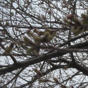 津田山の桜開花も近し